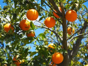 Orangen aus der Region Valencia mit Vitamin C